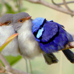 Splendid-fairy-wren birdnut.wordpress
